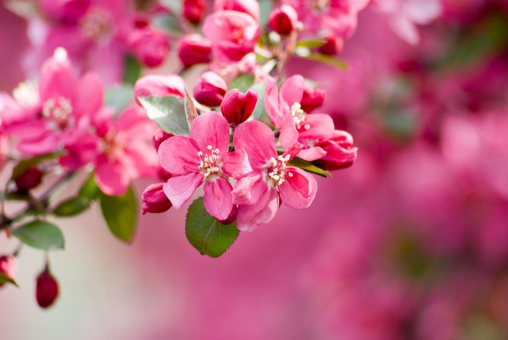 Crabapple Blossom Meaning, Popular Types, and Growing Tips