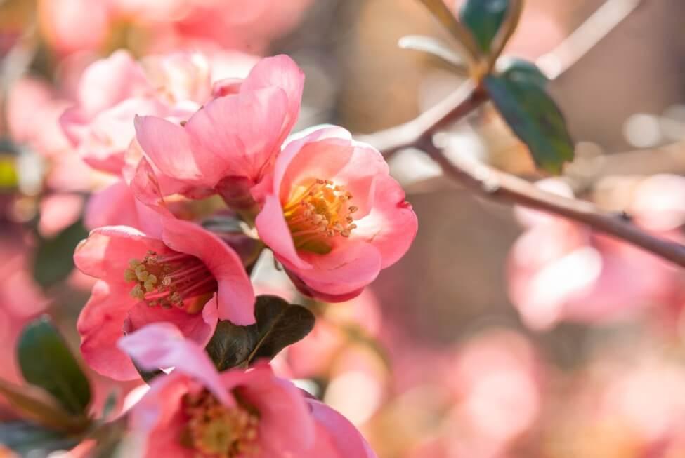 Crabapple Blossom Meaning & Symbolism