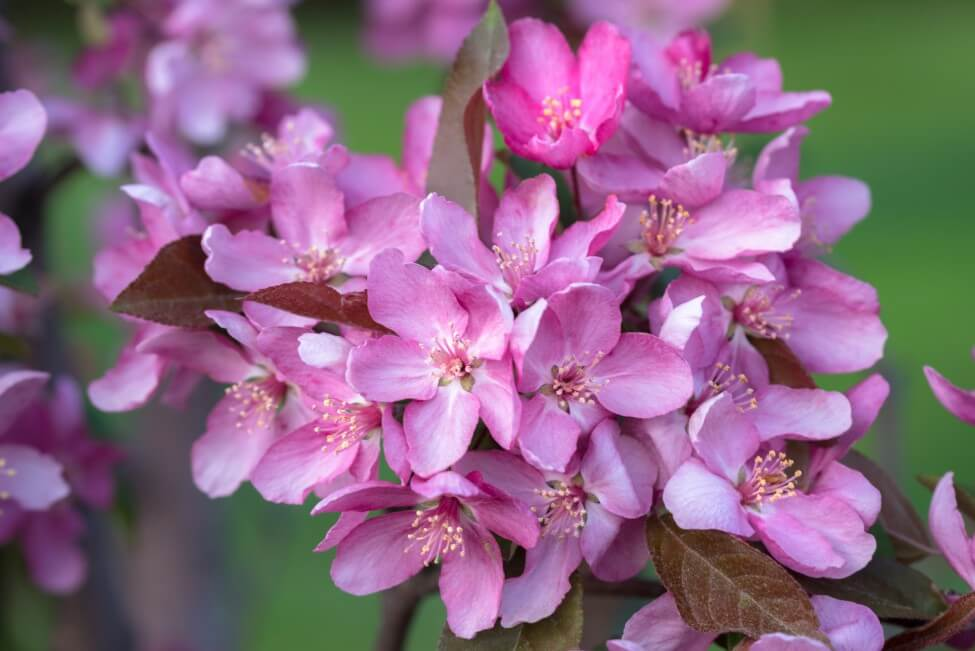 Crabapple Botanical Characteristics, Colors, and Fragrances