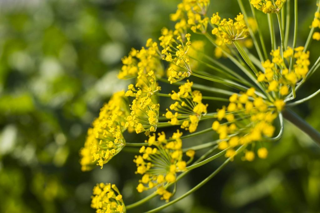 Dill Flower Meaning, Symbolism, Uses, and Benefits (Anethum graveolens)
