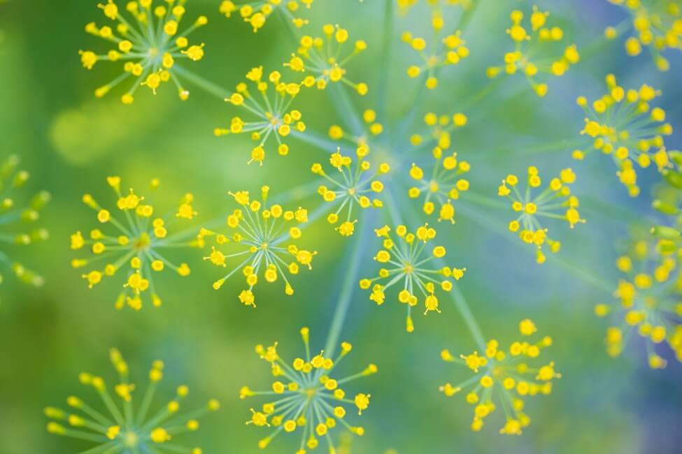 Dill Flower Meaning & Symbolism