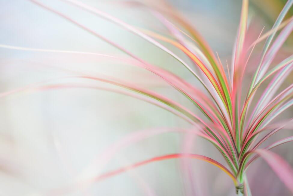 Dracaena Marginata (Dracaena marginata)