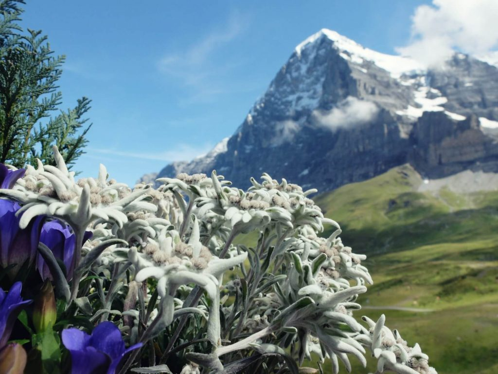 Edelweiss Flower Meaning, Symbolism, and Uses