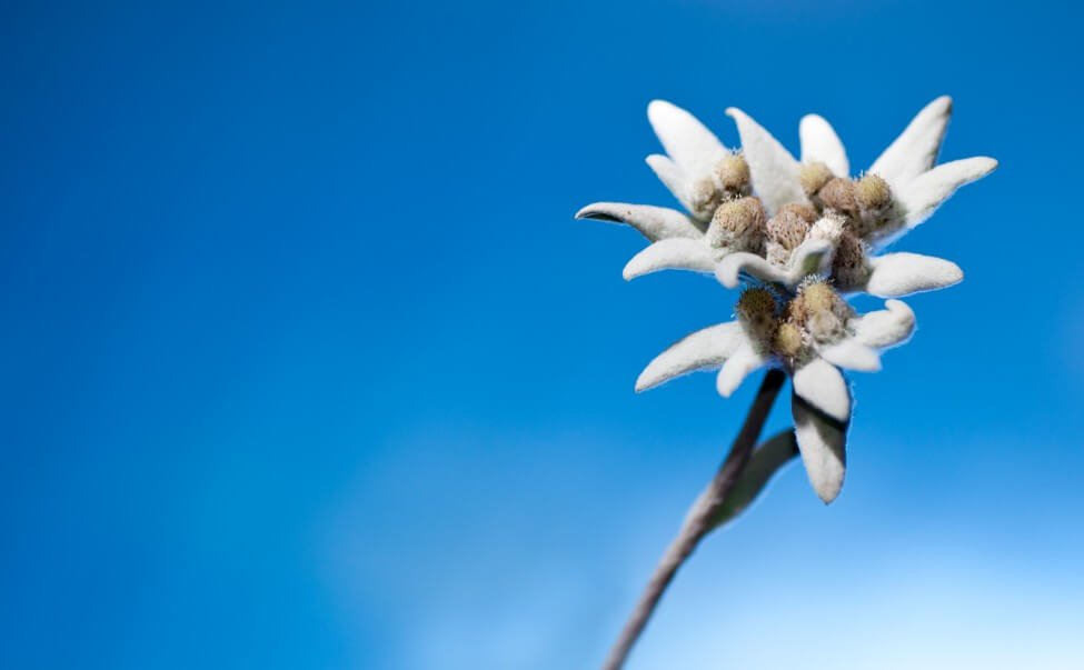 Edelweiss Flower Meaning & Symbolism