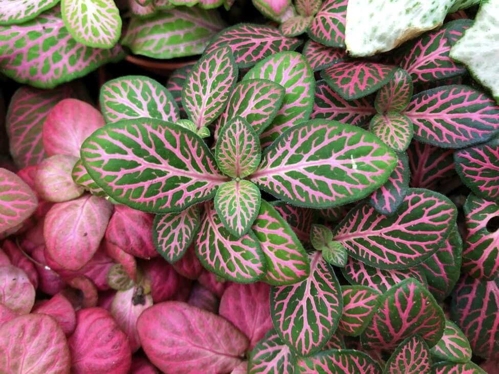 Fittonia 'Pink Forest Flame' (Fittonia albivenis)