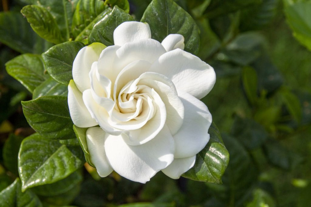 Gardenia Flower Meaning, Symbolism, and Uses