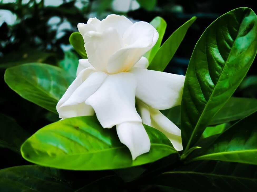 Gardenia Flower Meaning & Symbolism