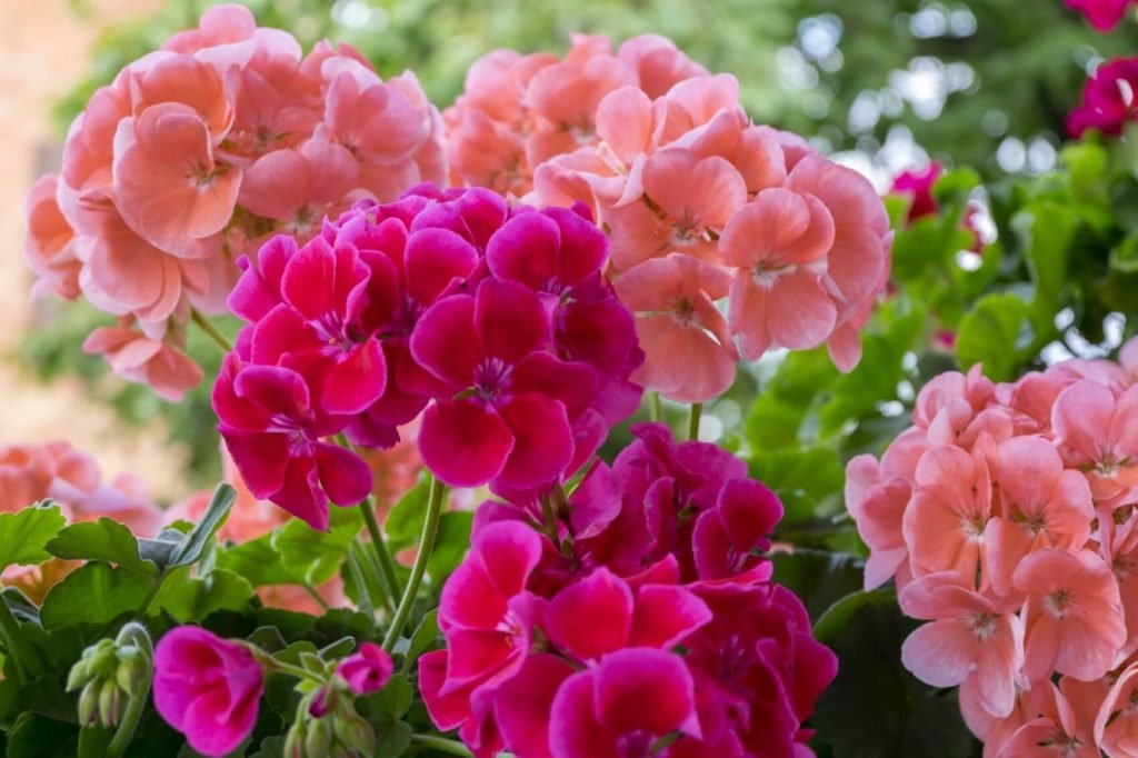 Geranium Flower Meaning, Symbolism, Popular Types, and Uses