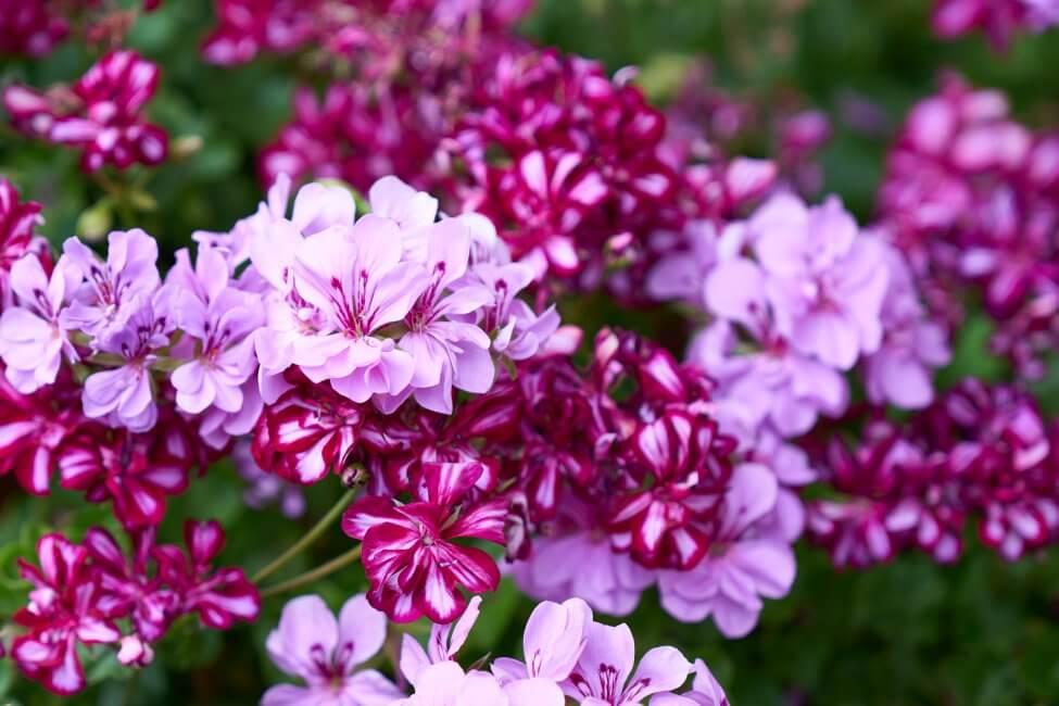 Geranium Flower Meaning & Symbolism