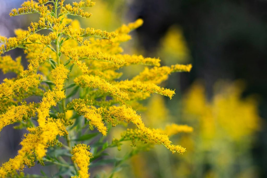 Goldenrod Flower Meaning, Symbolism, Popular Types, and Uses