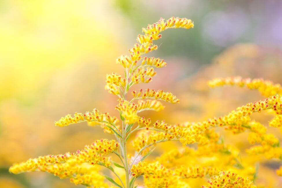 Goldenrod Flower Meaning & Symbolism