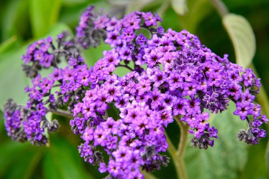 Heliotrope Flower Meaning, Symbolism, and Uses