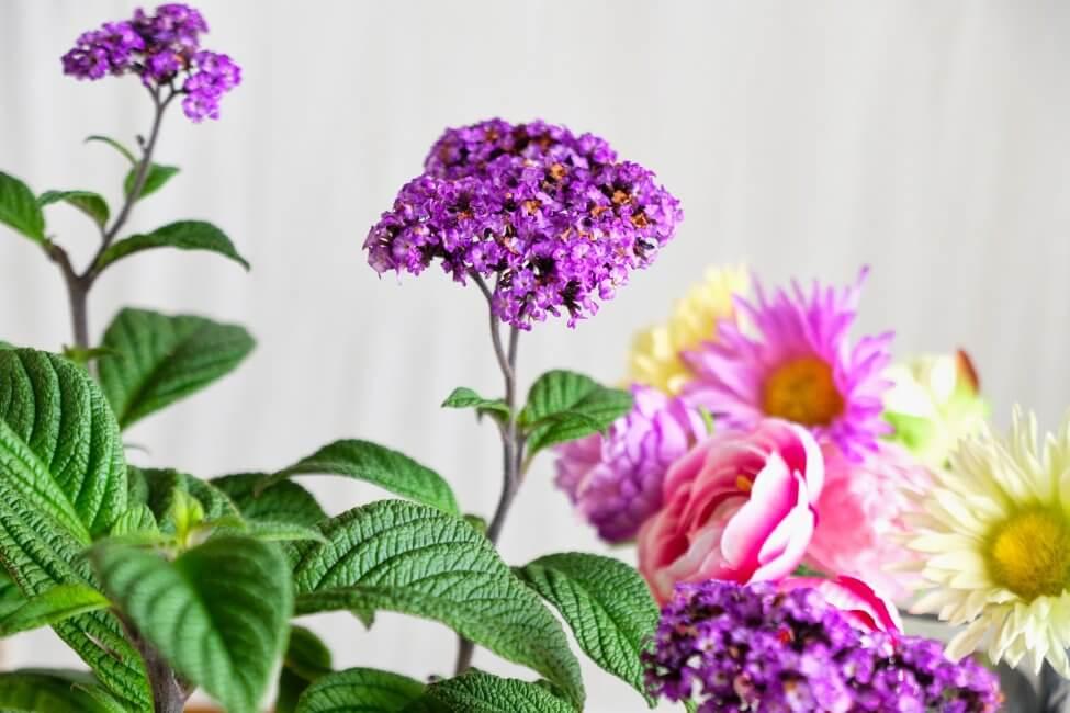 Heliotrope Flower Meaning & Symbolism