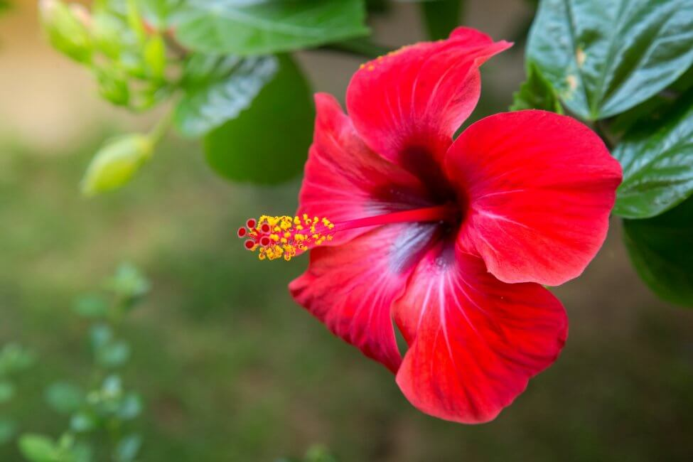 Hibiscus (Hibiscus rosa-sinensis)
