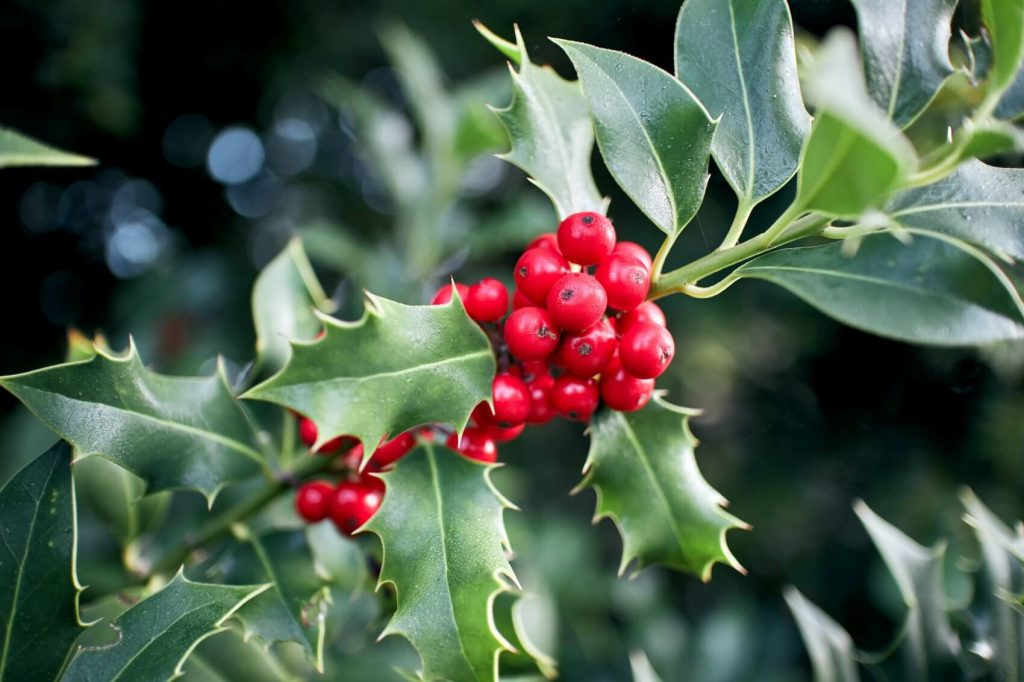 Holly Plant Meaning, Symbolism, and Uses