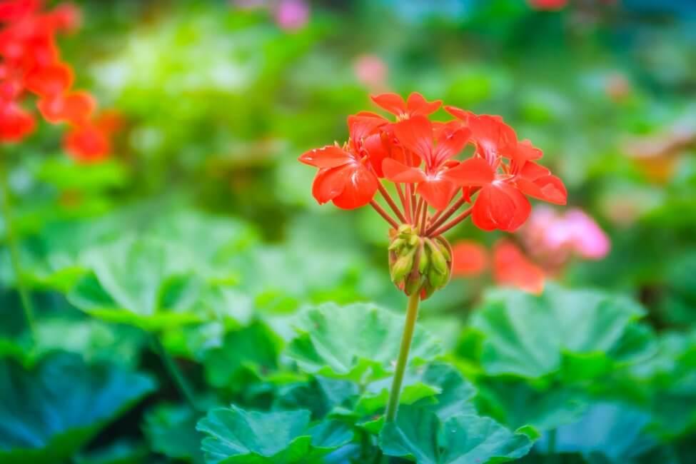 Horseshoe or Zonal Geraniums