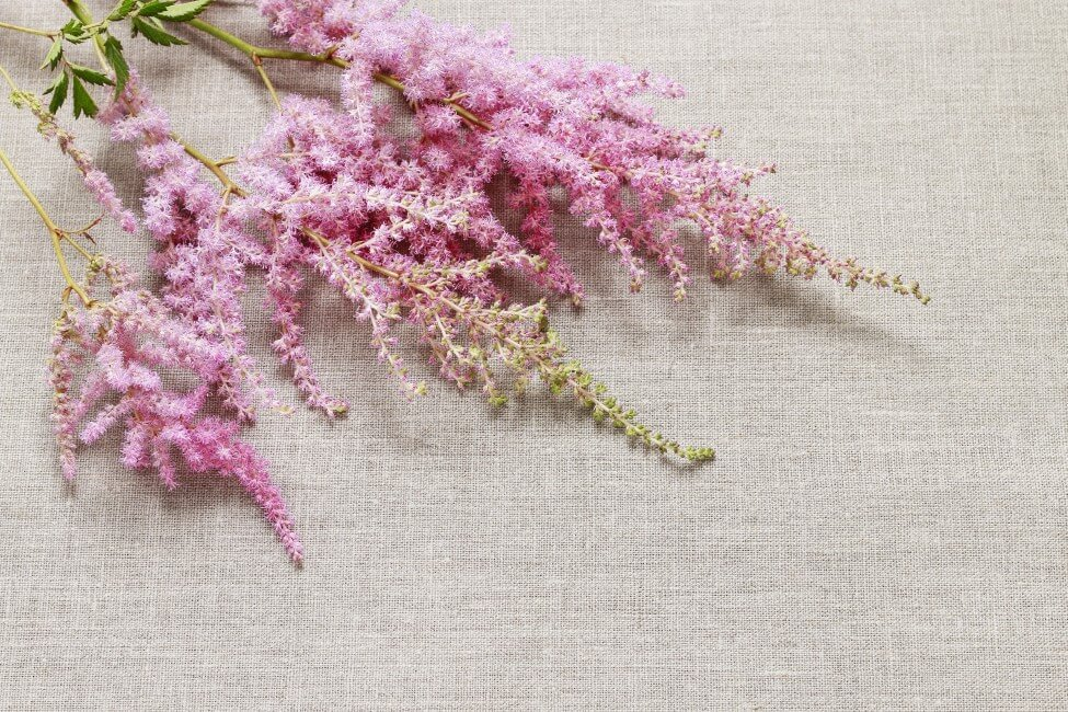 How to Care for Fresh Cut Astilbe Flowers