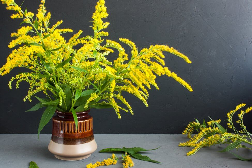 How to Care for Fresh-Cut Goldenrod Flowers