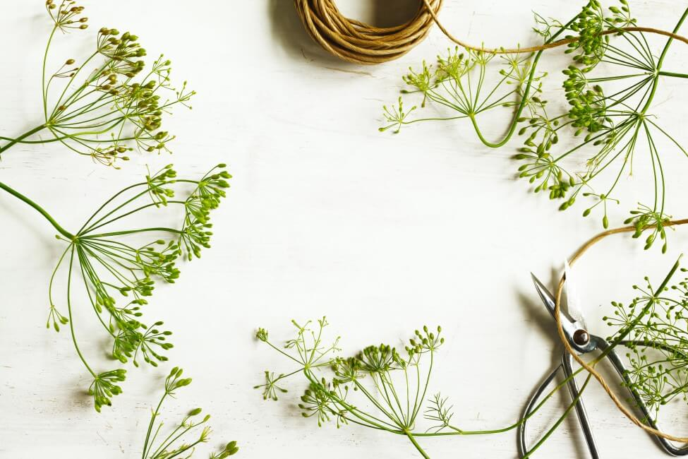 How to Care for Fresh-cut Dill flowers