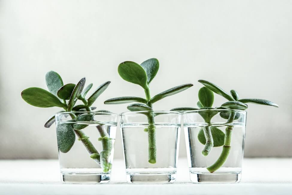 How to Water Propagated Rubber Tree Plants