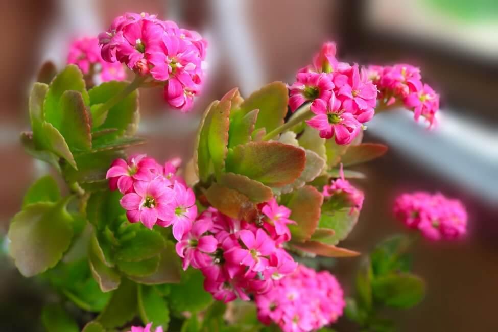 Kalanchoe 'Pink Butterflies' (Kalanchoe x houghtonii)