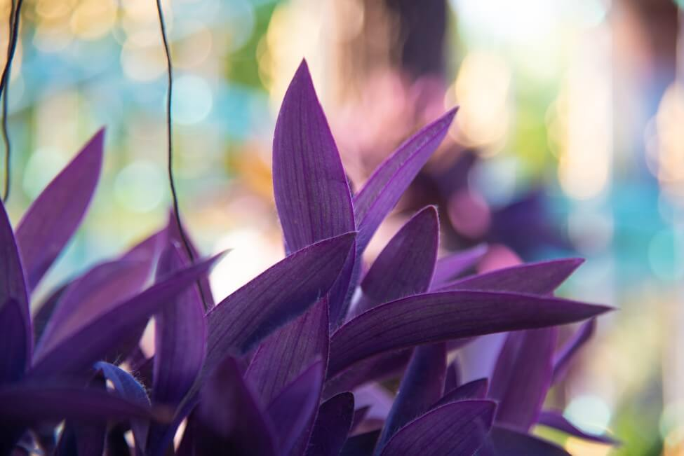 Moses-in-the-Cradle (Tradescantia spathacea)