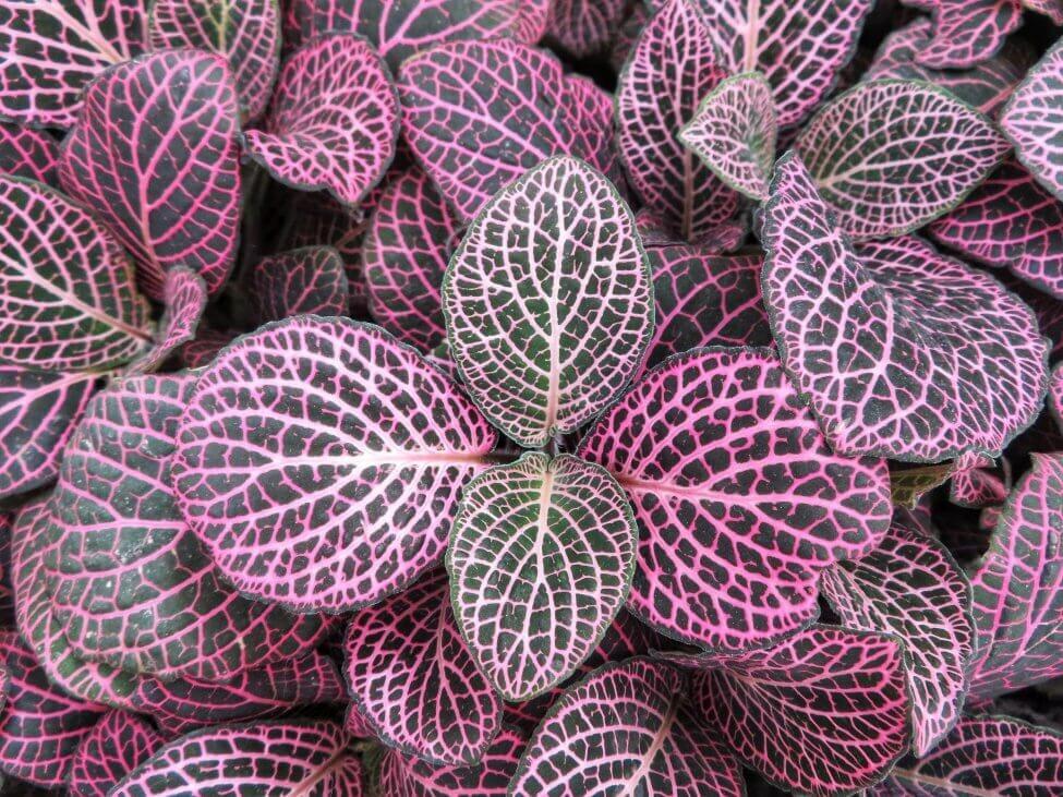 Nerve Plants (Fittonia spp.)