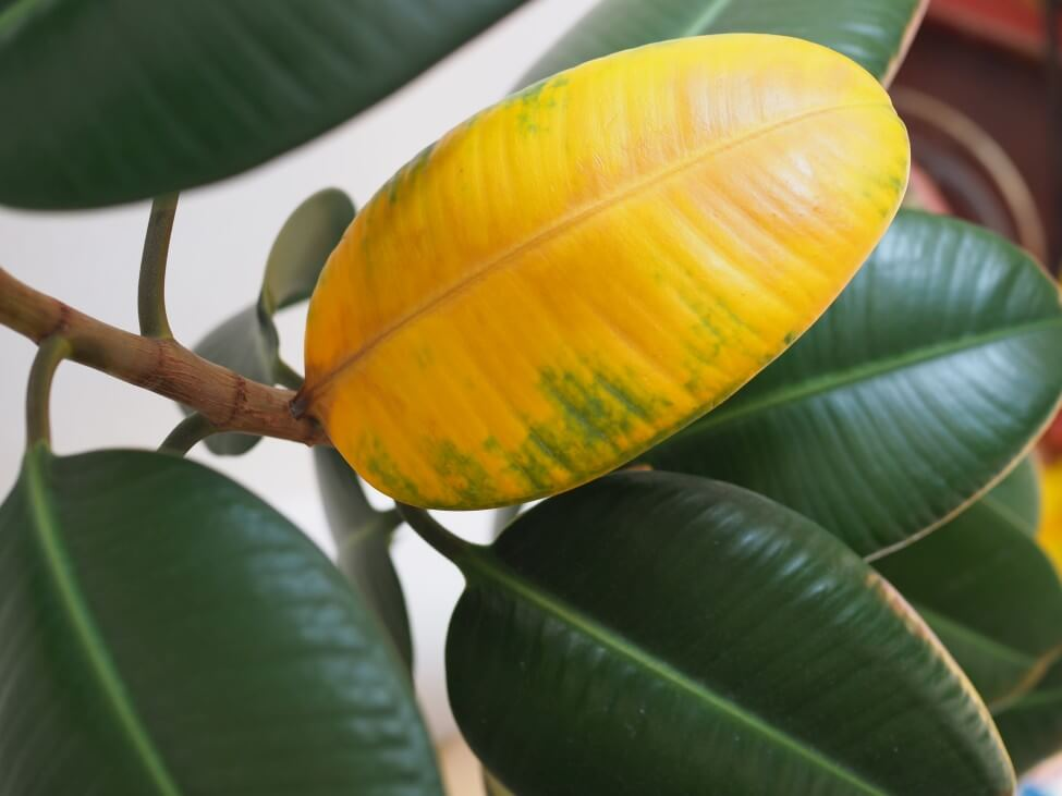 Overwatering and Underwatering Rubber Tree Plants – Potential Problems, Signs, and Solutions