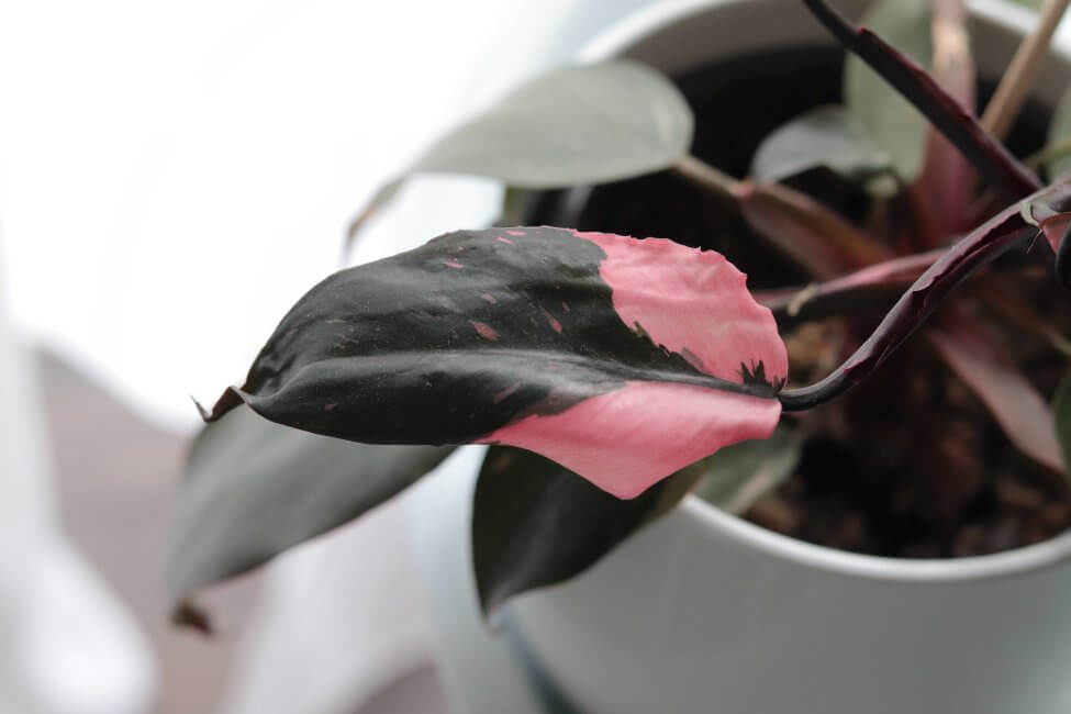 Pink Princess Philodendron (Philodendron erubescens)