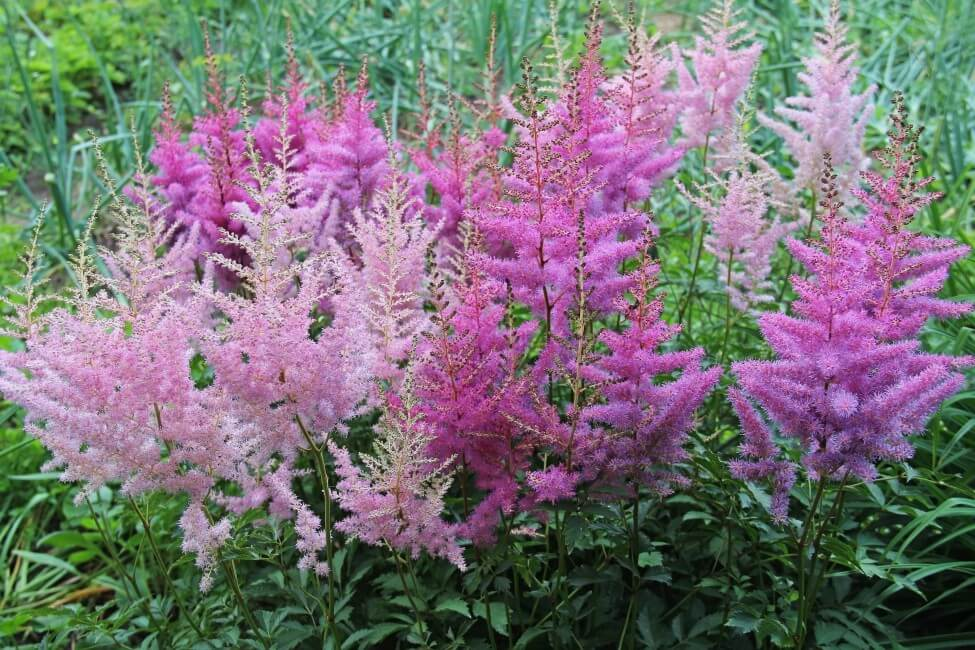 Popular Astilbe Flower Types, Species, and Cultivars