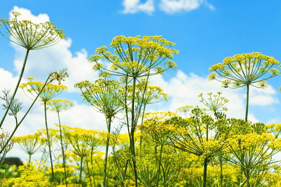 Popular Dill Flower Types, Species, and Cultivars