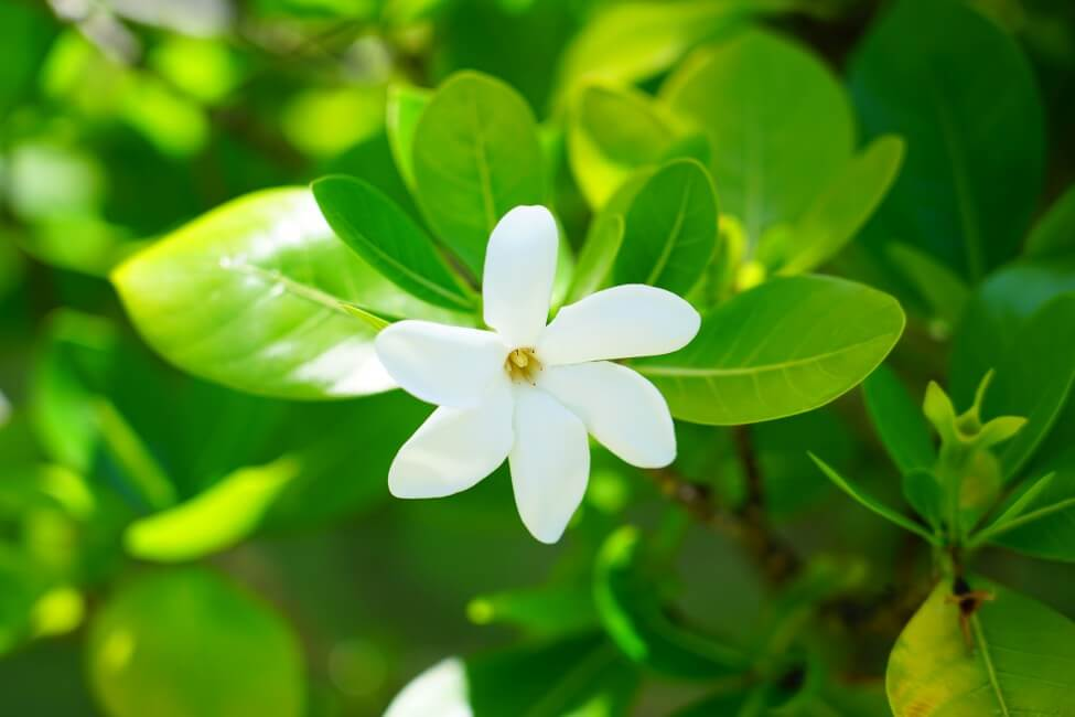 Popular Gardenia Flower Types, Species, and Cultivars