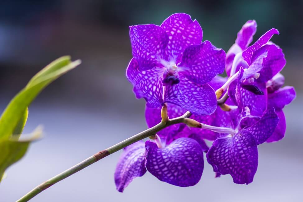 Purple Vanda Orchid (Vanda)