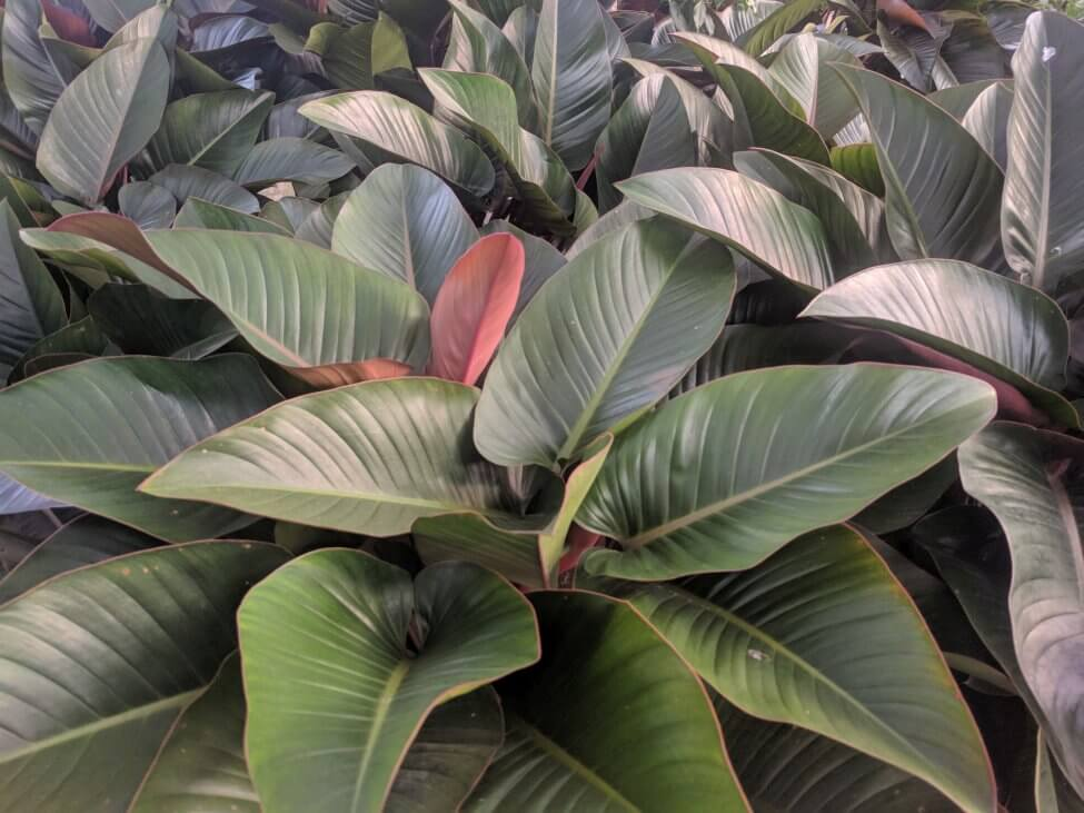 Red Congo Philodendron (Philodendron rojo congo PBR)