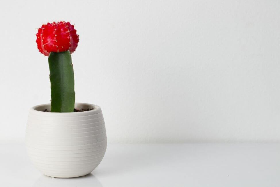 Red Moon Cactus (Gymnocalycium mihanovichii)