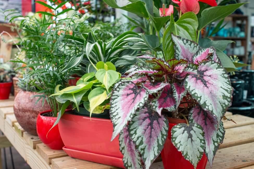 Rex Begonia (Begonia rex-cultorum)