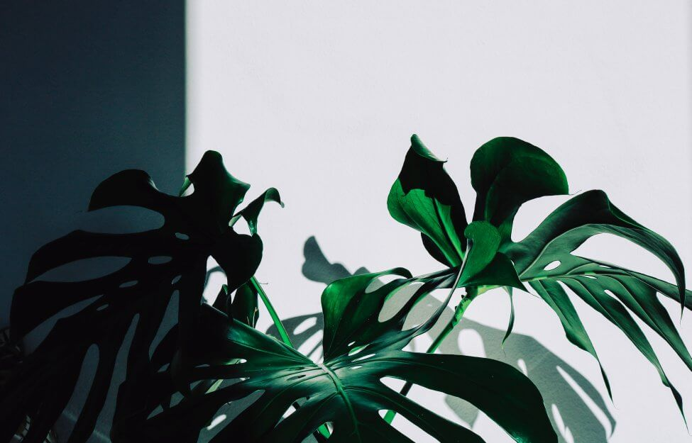 Signs Your Monstera Plant Isn't Receiving Enough Light