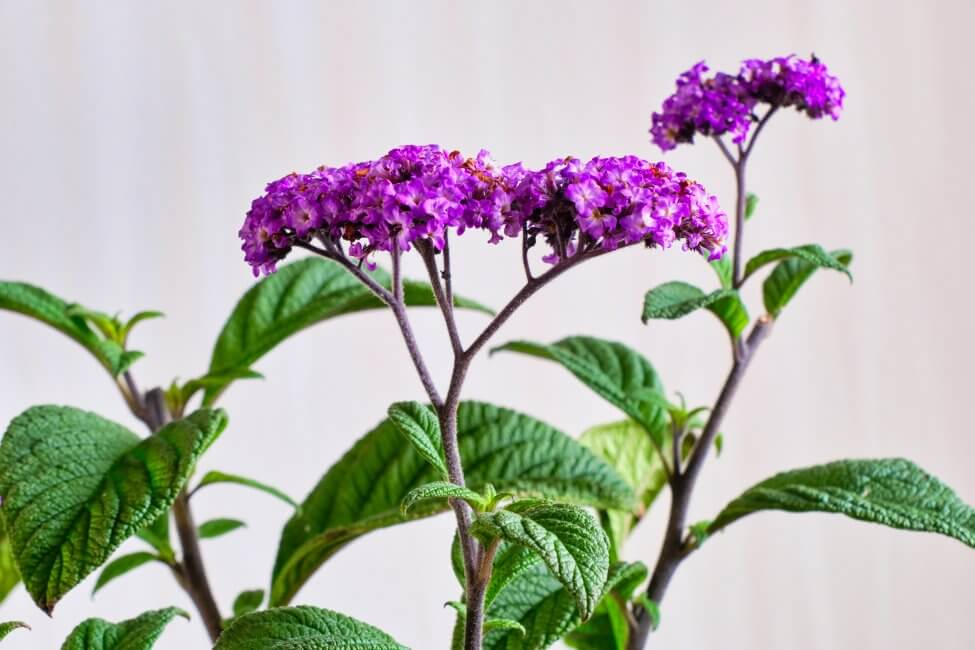 Suitable Gifting Occasions for Heliotrope Flowers