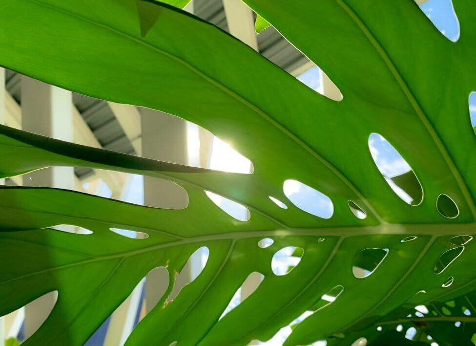 The Best Light Exposure for Monstera Plants Grown Indoors