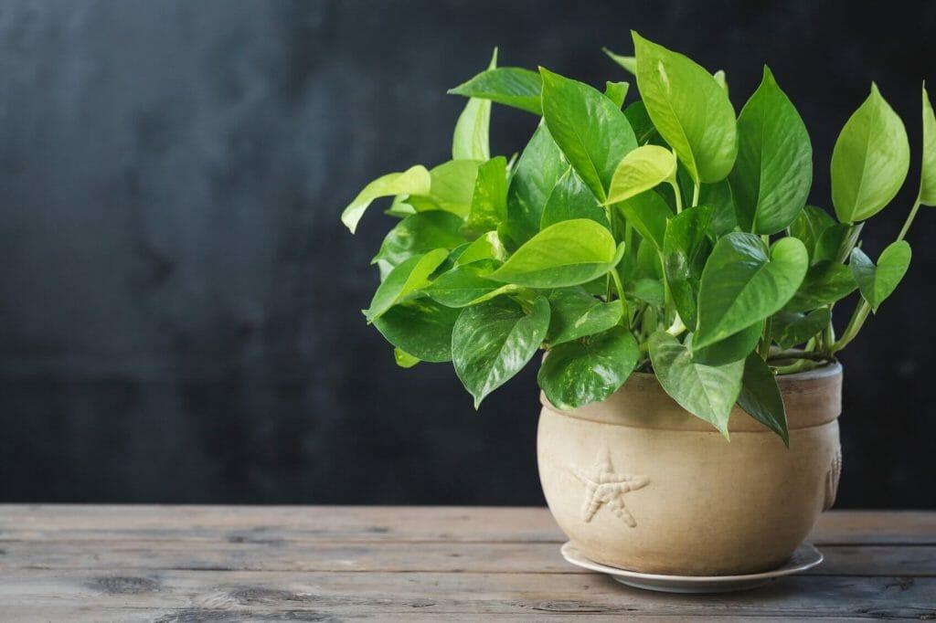 The Best Soil for Pothos Plants (Essential Tips)