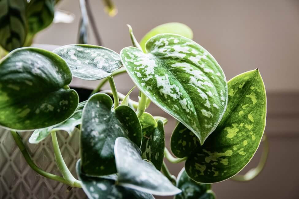 The Importance of Well-Draining Potting Soil for Pothos Plants