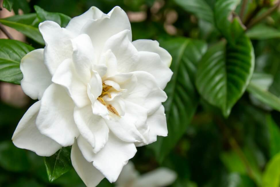 The Meaning, Symbolism and Cultural Significance of Gardenia Flowers