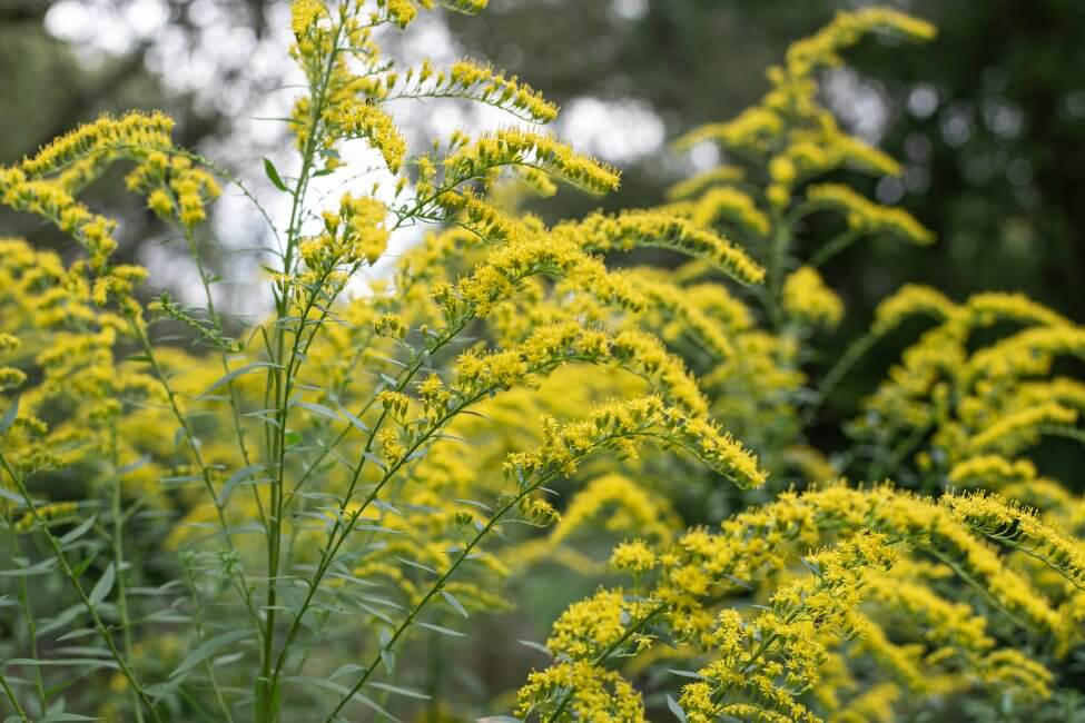 The Meaning, Symbolism, and Cultural Significance of Goldenrod Flowers