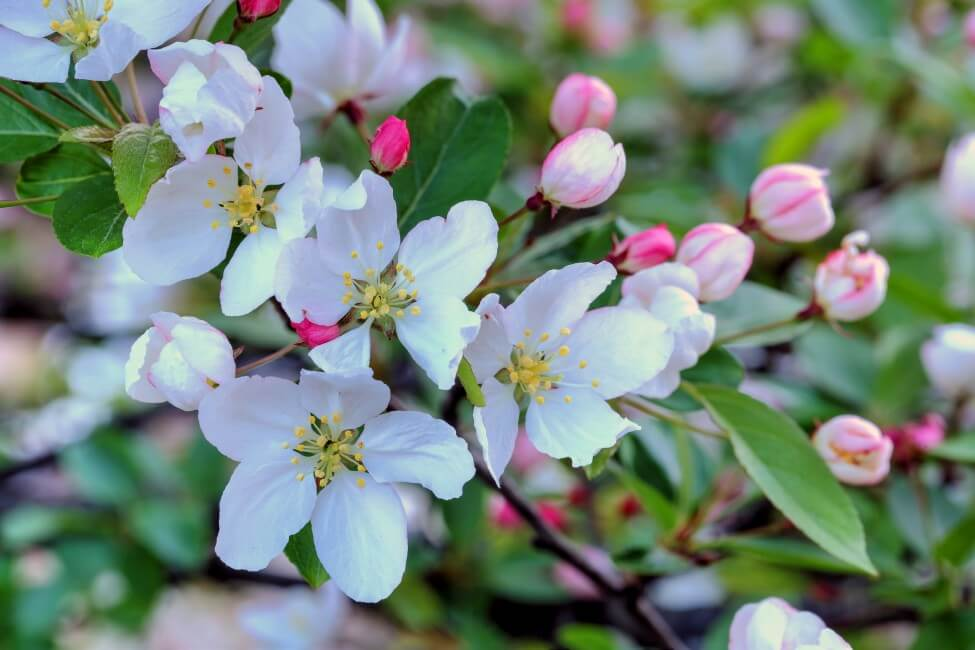 The Most Popular Types of Flowering Crabapple Trees