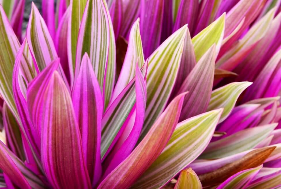Tri-Color Oyster Plant (Tradescantia spathacea)