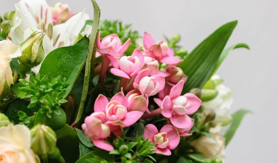 Uses and Benefits of Bouvardia Flowers