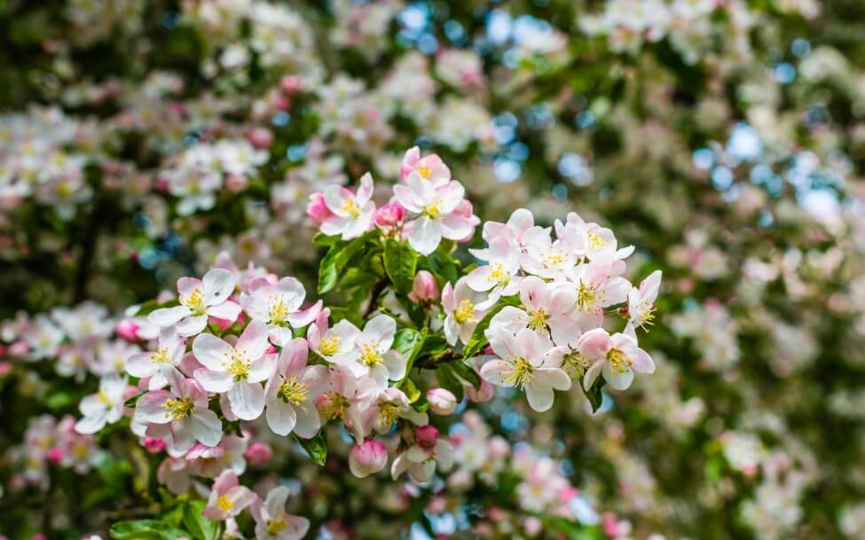 Uses and Benefits of Crabapple Trees Blossoms