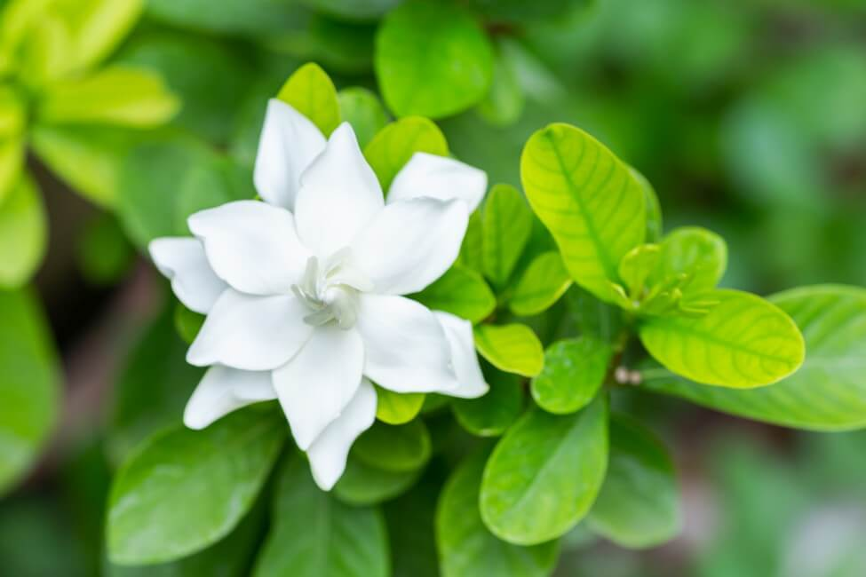 Uses and Benefits of Gardenia Flowers
