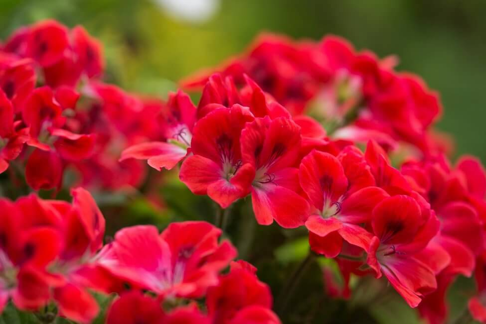Uses and Benefits of Geranium Flowers