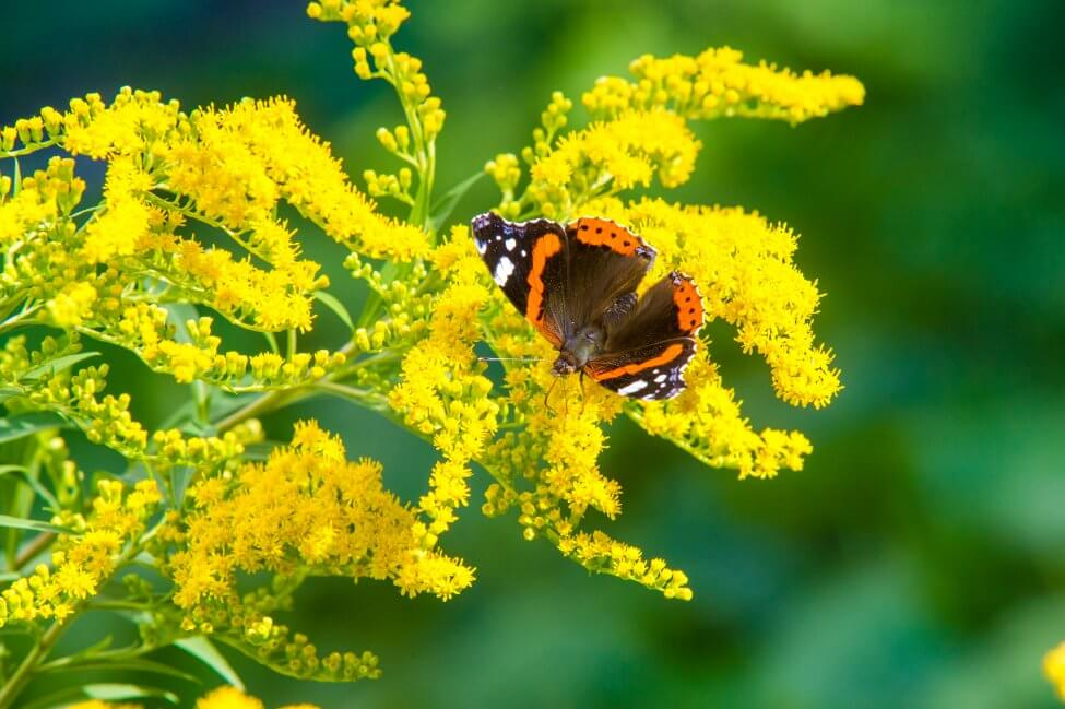 Uses and Benefits of Goldenrod Flowers
